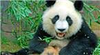 熊猫爬树上和妹子合影 突然一口咬下…