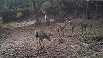 进击的兔子!敢和鹿群刚正面