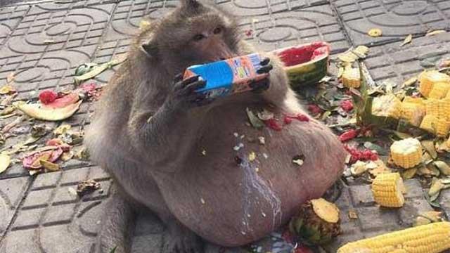 疑因游客投食过度 泰国猴子胖成猪!