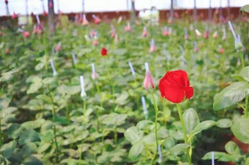 城阳东宅子头社区的玉皇花港鲜花种植基地是目前青岛