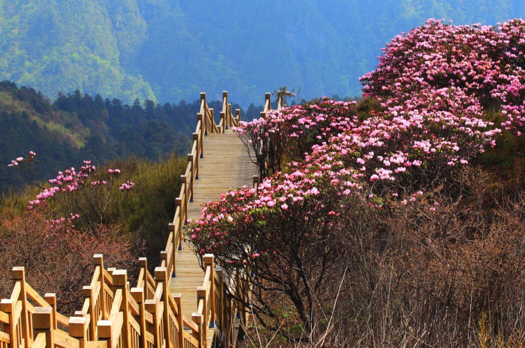 春夏旅游何处去?到神农架赏高山杜鹃花 感受神农文化
