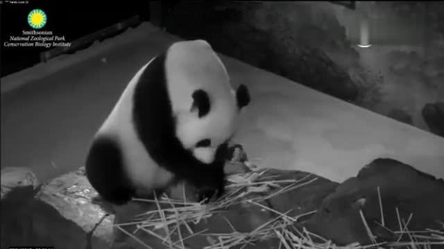 美国的熊猫日子怎样?剩饭中找食物