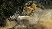 起床气真可怕!疣猪吵醒睡狮被扑食