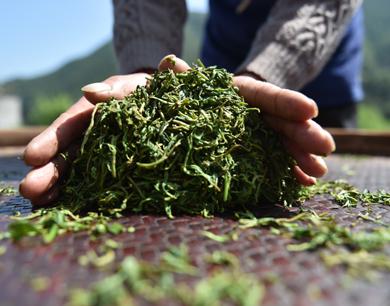 """铅山河红茶是这样""""炼成""""的(图)"""