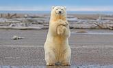 美北极熊幼崽镜头前秀舞姿 萌翻众人