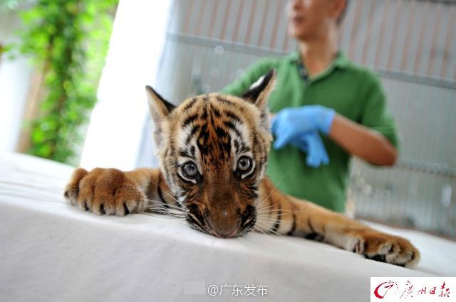 6月23日报道,4月15日,广州动物园喜诞华南虎宝宝,这是时隔15年再次