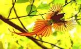 """""""中国最美小鸟""""蓝喉蜂虎及寿带鸟现身湖北"""