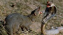印度獴大战毒蛇 锋利的牙齿一口咬断毒蛇的脖颈