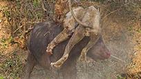 水牛大战非洲雄狮激烈搏杀后两败俱伤双双丧命
