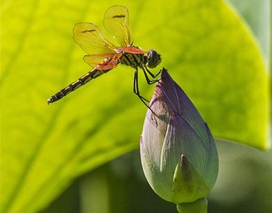 蜻蜓立荷头!李村河满满的夏天味道