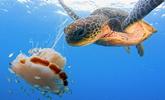 罕见画面!海龟活吞水母精彩瞬间