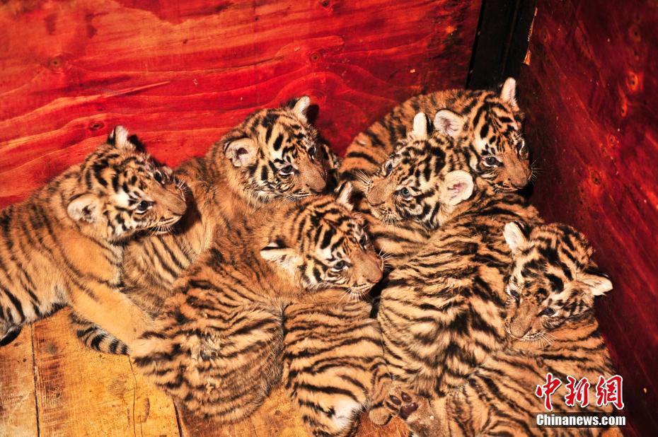 云南野生动物园东北虎哺育成活7胞胎