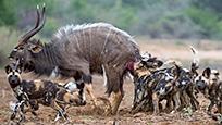 鬣狗群围攻落单羚羊 捕杀现场太凶残