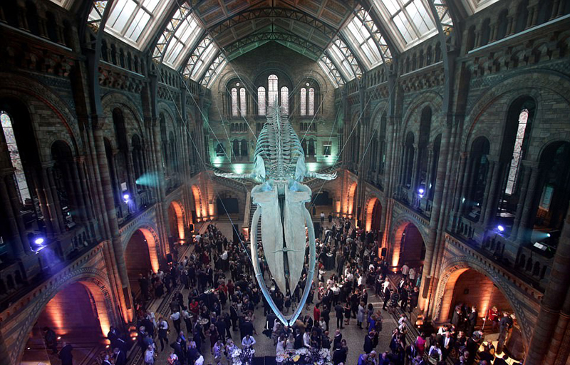 25米长蓝鲸骨架亮相英国博物馆大厅_资讯频道_凤凰网