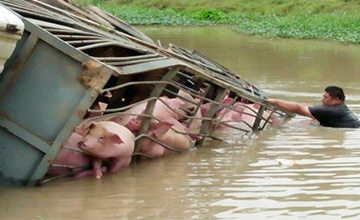 载100头猪大货车翻入水渠一幕