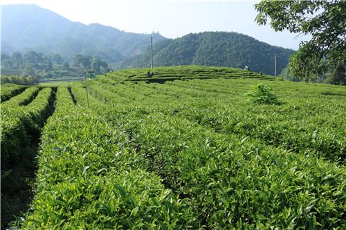黄壤和黄棕壤等,土壤肥厚,结构优良,是理想的茶树生长和栽培之地.