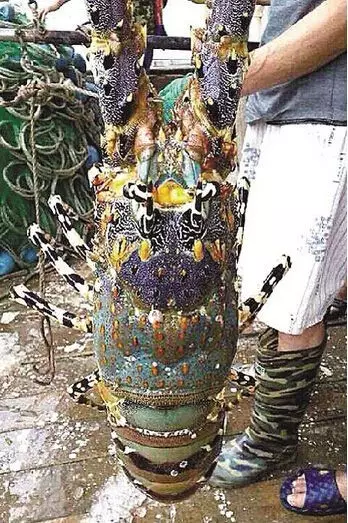 """福建渔民捕获一只硕大无比的""""神虾""""【组图】 - 春华秋实 - 春华秋实 开心快乐每一天"""