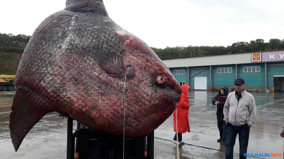 渔民捕获一吨重巨鱼 最后拿去喂熊 (高清组图)