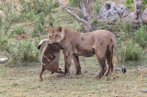 母狮捕杀母狒后发现狒宝宝,接下来的一幕惊讶了