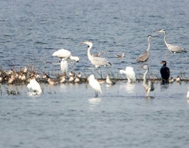鄱湖风起草低头 万鸟云集雁归来