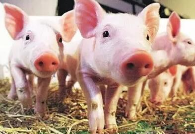 生猪6个月长200斤 农业部:猪好料好圈好