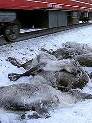 火车3天撞死106头驯鹿