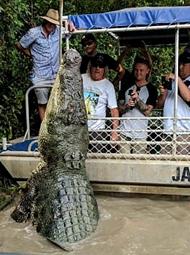 6米长鳄鱼从水中立起
