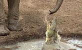 大象被鳄鱼咬住鼻子,结局出乎我的预料