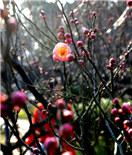 乍暖还寒,南京古林公园梅花初绽放