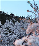 南京鸡鸣古刹樱花盛开 人山人海