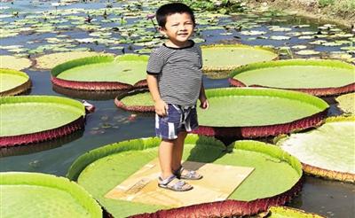 涨见识!三亚成功试种王莲 直径达2米 可承重50公斤