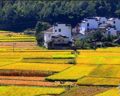 安徽:秋日流金丰收图 稻花飘香伴青山