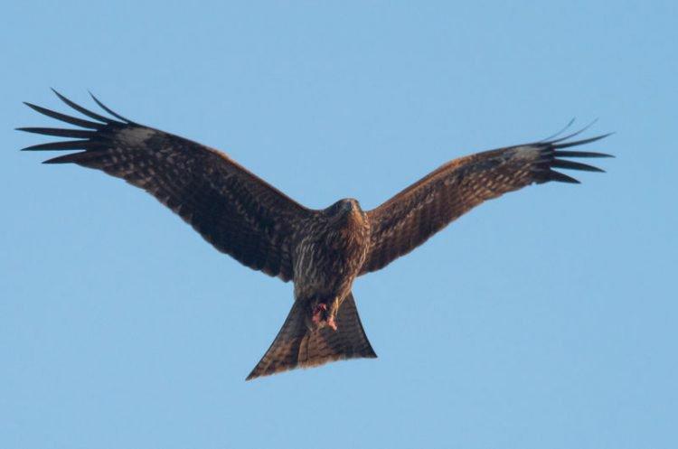动物纵火犯!澳洲火鹰为捕猎 故意放火烧草原
