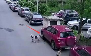 小狗在车边做了这事比撒尿严重得多 狗主人要赔惨了