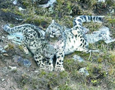 澜沧江源成全球最佳雪豹自然体验点