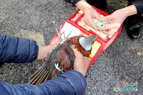 1月4日,武宁县森林公安局接到报警称,有人在田里捡到一只不知名的大鸟。民警会同野保工作人员前往现场,通过鉴定,确定这只大鸟是国家一级保护动物白颈长尾雉。据工作人员分析,白颈长尾雉翅膀可能是被猛禽所伤。通过野生动物救护站工作人员的精心救治,白颈长尾雉很快伤愈,具备了放生条件,于是工作人员在伊山自然保护区将其放飞回归大自然。 据介绍,白颈长尾雉是中国特产鸟类,已列入世界濒危鸟类名录和国家重点保护野生动物名录,属国家一级保护鸟类,数量稀少。主要栖息于海拔1000米以下的低山丘陵地区的阔叶林、混交林、针叶林、竹