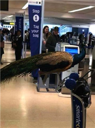 女子带孔雀排队登机惊呆乘客