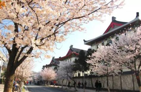 """鸡鸣寺""""消息树""""开花 南京最全赏樱地图来了!"""