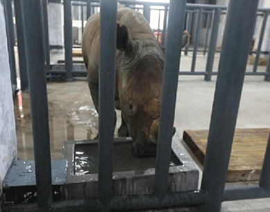 5只南非白犀牛在秦岭脚下安家落户