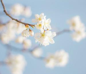 丰都:樱桃花开俏争春