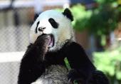 熊猫儿犯春困