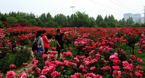 绿博园:初夏月季漫天香