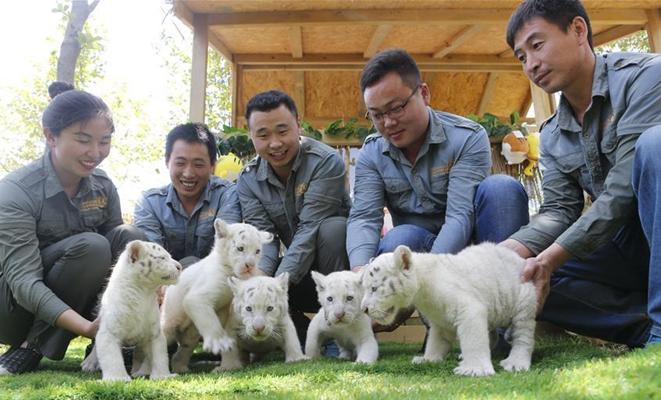 五胞胎雪虎宝宝亮相