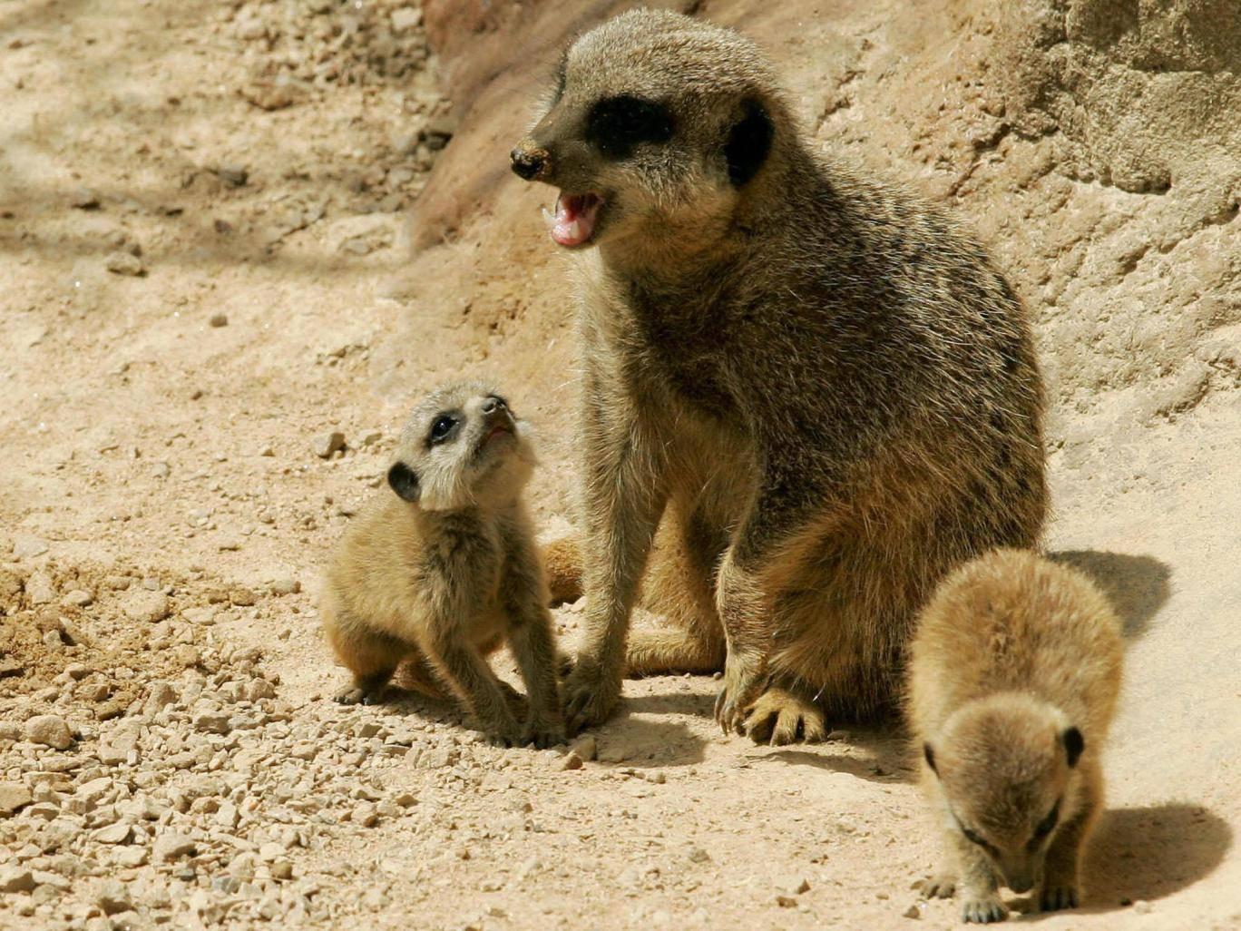 12岁熊孩子擅闯动物园围栏 摔死怀孕猫鼬一尸两命