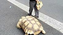 日本老人花20多年把乌龟养到150斤!自己都老了!乌龟正值壮年