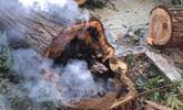 天气有多热?武汉汉口一棵枫杨热得都冒烟了!
