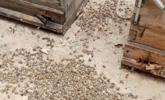600多万只蜜蜂集体死亡 蜂农:被飞防农药毒死的