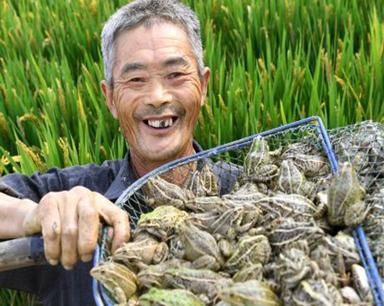 安徽六安:稻蛙共养富农家