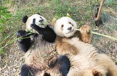 """棕色大熊猫""""七仔"""" 从弃婴到明星的别样""""熊生"""""""