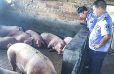 省卫健委:非洲猪瘟不感染人 高温加热可灭病毒